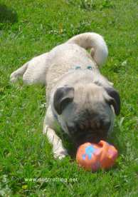 pug playing with ball at Pawlooza 2019