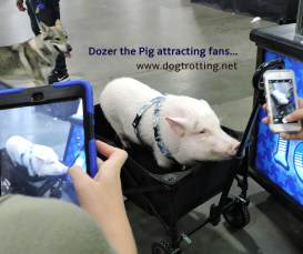 can pet expo pig