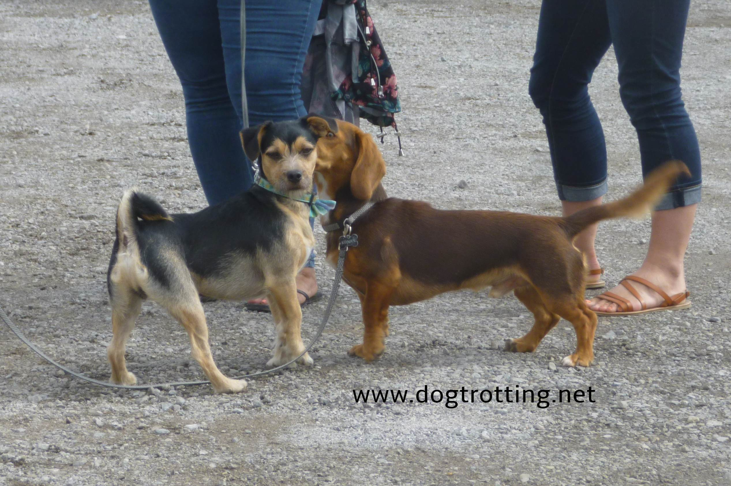 two small dogs meeting at festival