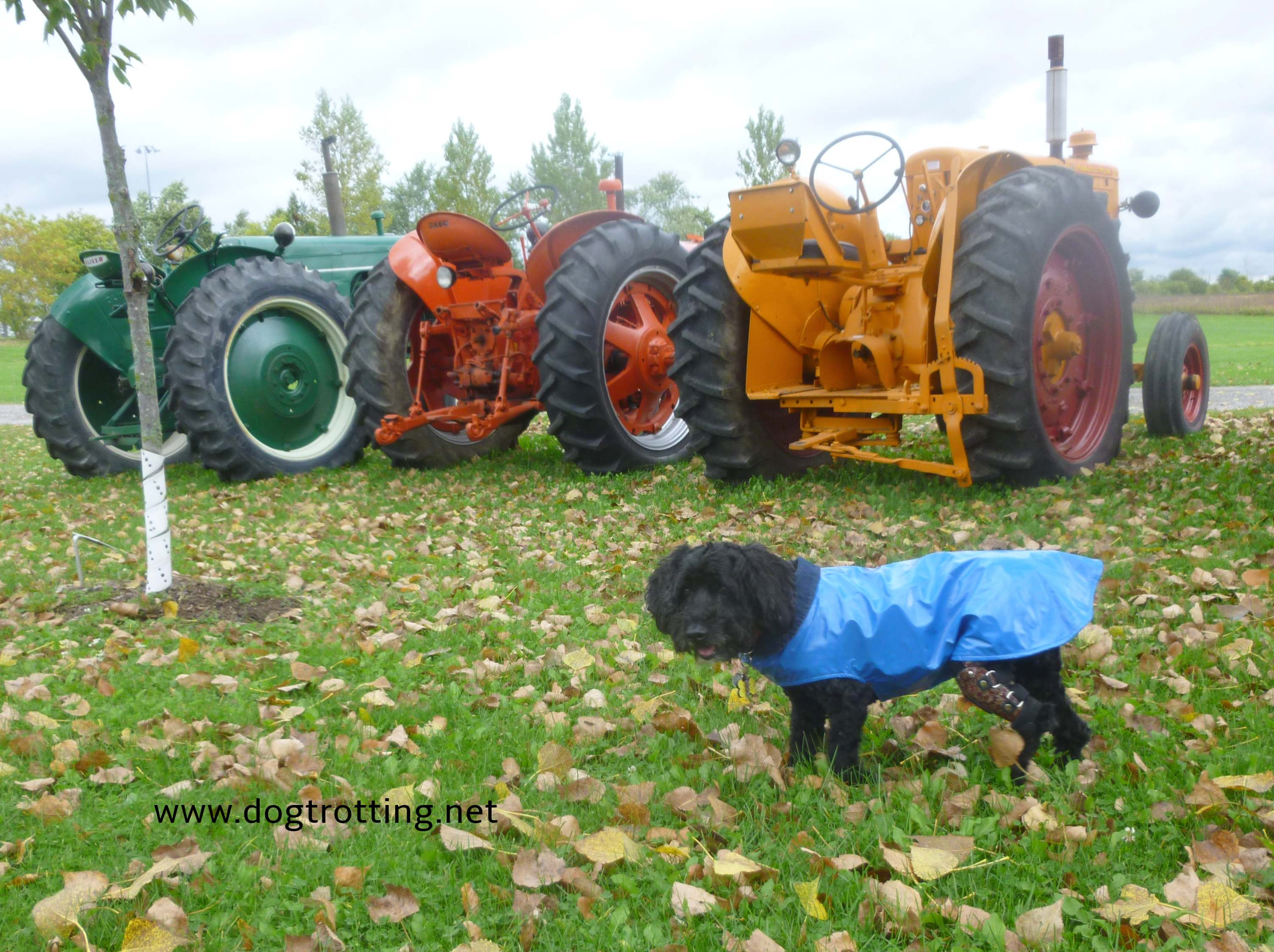 dog in front of antique tractors