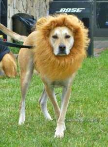 dog in lion costume www.dogtrotting.net