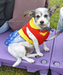 dog in wonderwoman costume