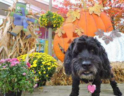 little black dog standing in front of halloween decorations