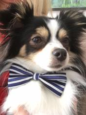 cut Chihuahua with bow tie at My Dog's Cafe