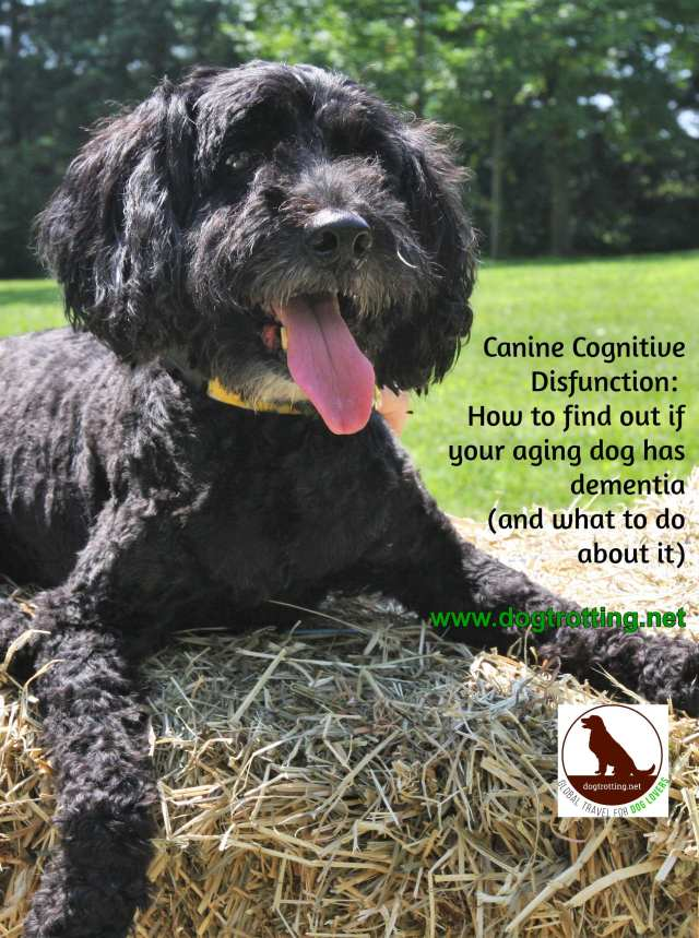 My beautiful black terrier on hay bale with text: Canine Cognitive Dystunction