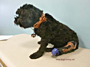 black dog with leg brace from PawsAbility