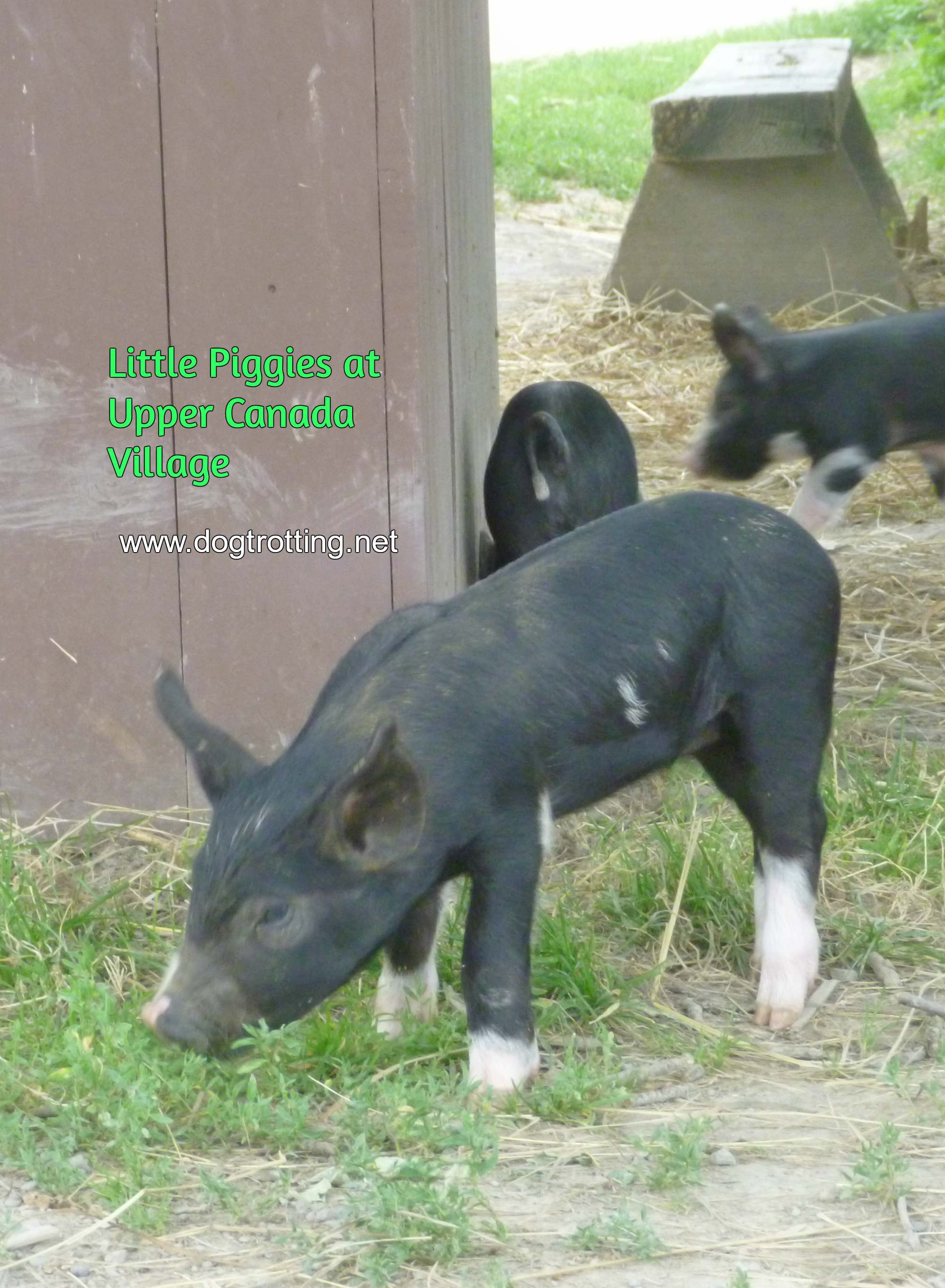 piggies at dog-friendly Upper Canada Village