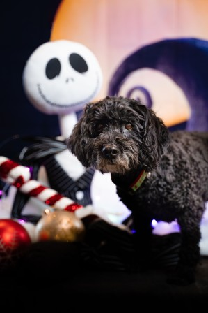 little black dog with Nightmare Before Christmas background theme