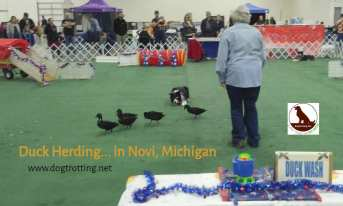 duck herding at The Michigan Winter Dog Classic dog show