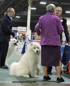 Great Peryneese The Michigan Winter Dog Classic dog show