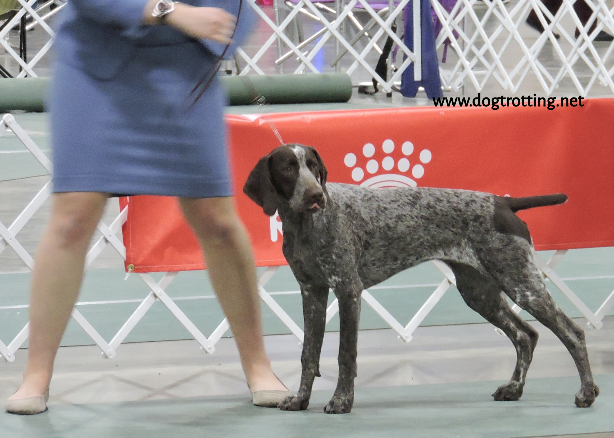 Pointer at The Michigan Winter Dog Classic dog show