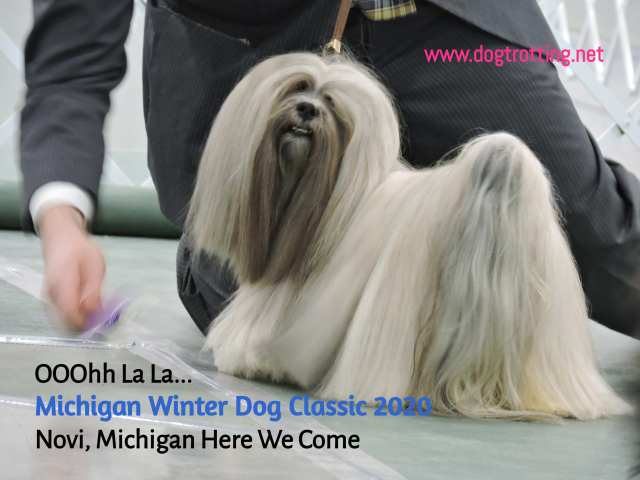 Peekineese dog at The Michigan Winter Dog Classic dog show