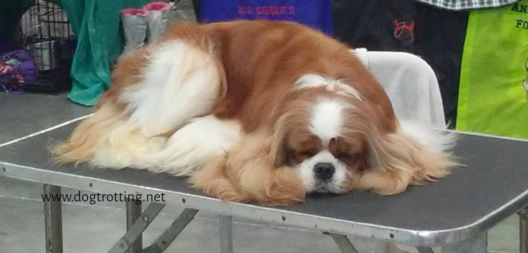 King Charles Spaniel sleeping at The Michigan Winter Dog Classic dog show