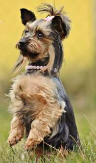 yorkie-nature-yorkshire-terrier-dog-wallpaper-preview