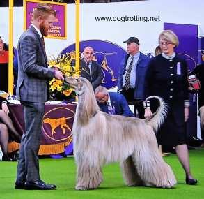 afghan dog at Westminster Dog Show 2020