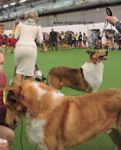 short haired collies at Westminster Dog Show