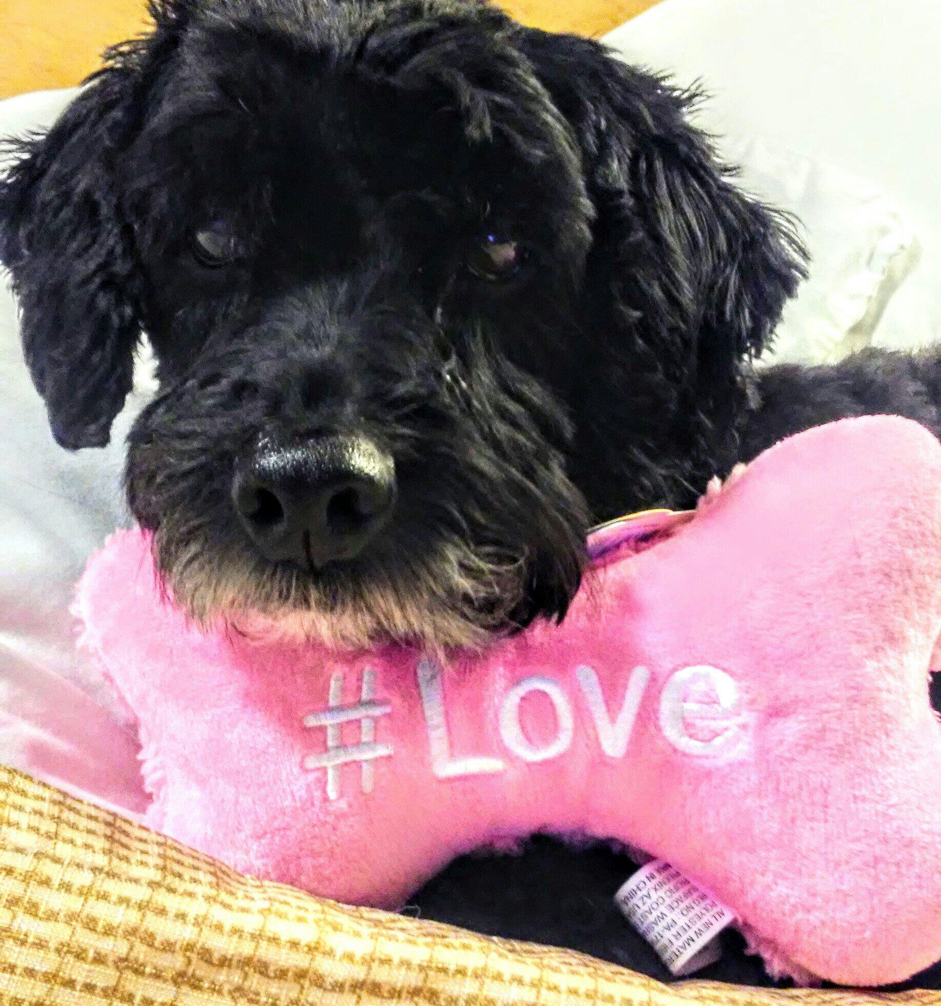 beautiful black terrier dog with stuffed pink bone dog toy