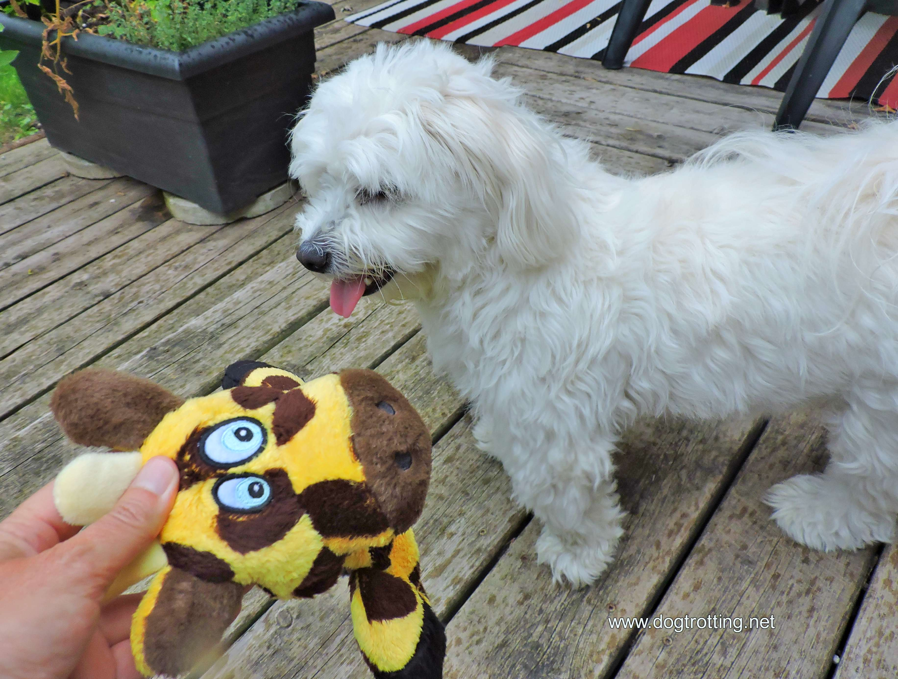 white dog with Hear Doggy dog toy