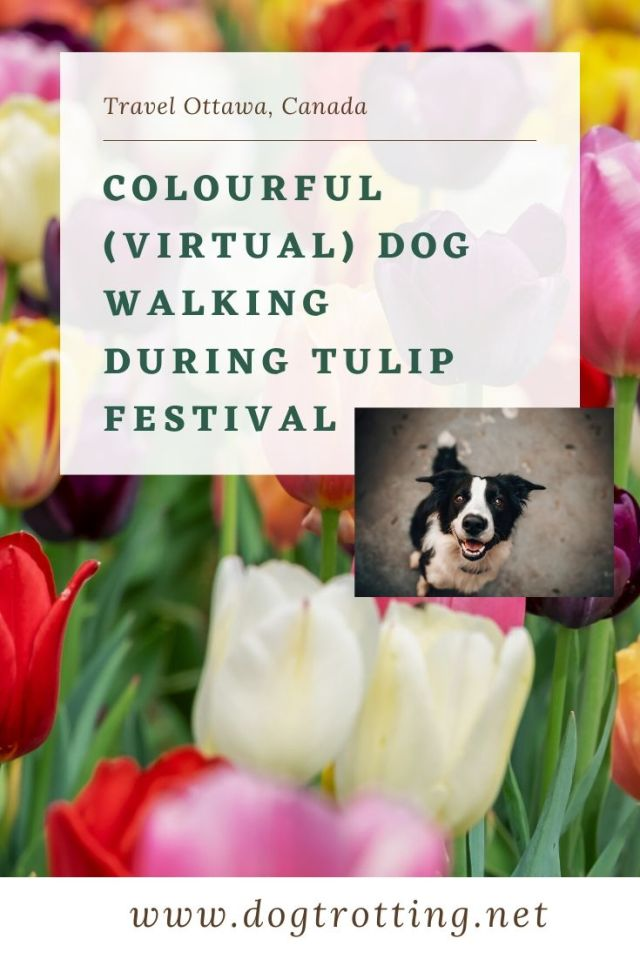 tulips and small pic of black and white dog with text: colourful virtual dog walking during tulip festival in Ottawa, Ontario