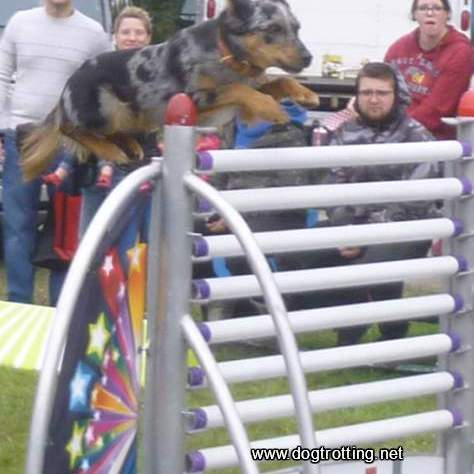 President's Choice SuperDogs cattle dog jumping high hurdle
