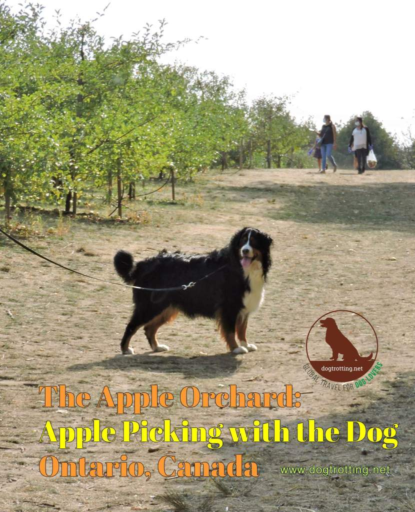 Big Bermeese dog friendly apple orchard