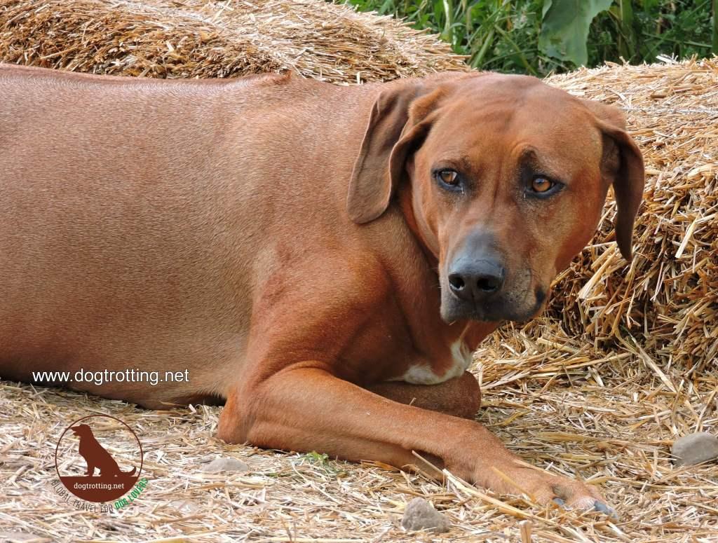 big brown dog at dog friendly apple orchard