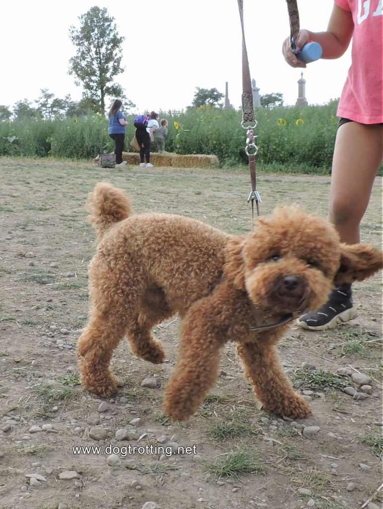 fluffy caramel coloured poodle dog